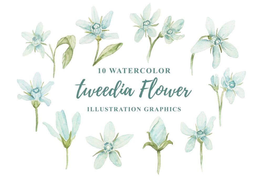 10个水彩花卉插画图形水彩剪贴画及装饰元素10 Watercolor Tweedia Flower Illustration Graphics插图