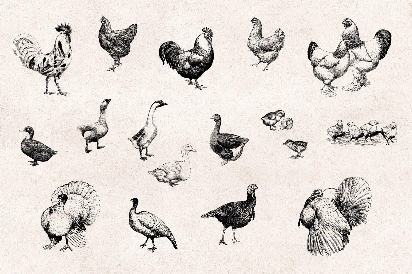 46个矢量化手绘风各种农场动物装饰图案元素下载Farm Animals Engraving Illustrations插图(1)