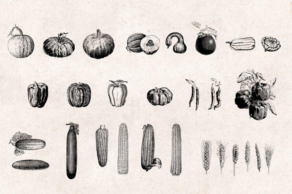 75个矢量化的复古雕刻蔬菜手绘餐饮品牌装饰图案Vegetables Vintage Illustration Set插图(2)