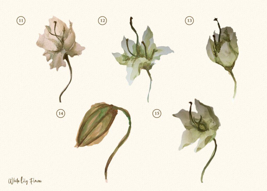 15个海葵花卉水彩插图装饰图案15 Watercolor White Lily Flower Illustration插图(3)