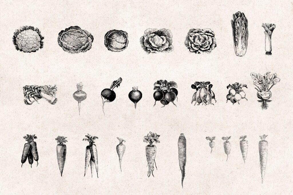 75个矢量化的复古雕刻蔬菜手绘餐饮品牌装饰图案Vegetables Vintage Illustration Set插图(3)