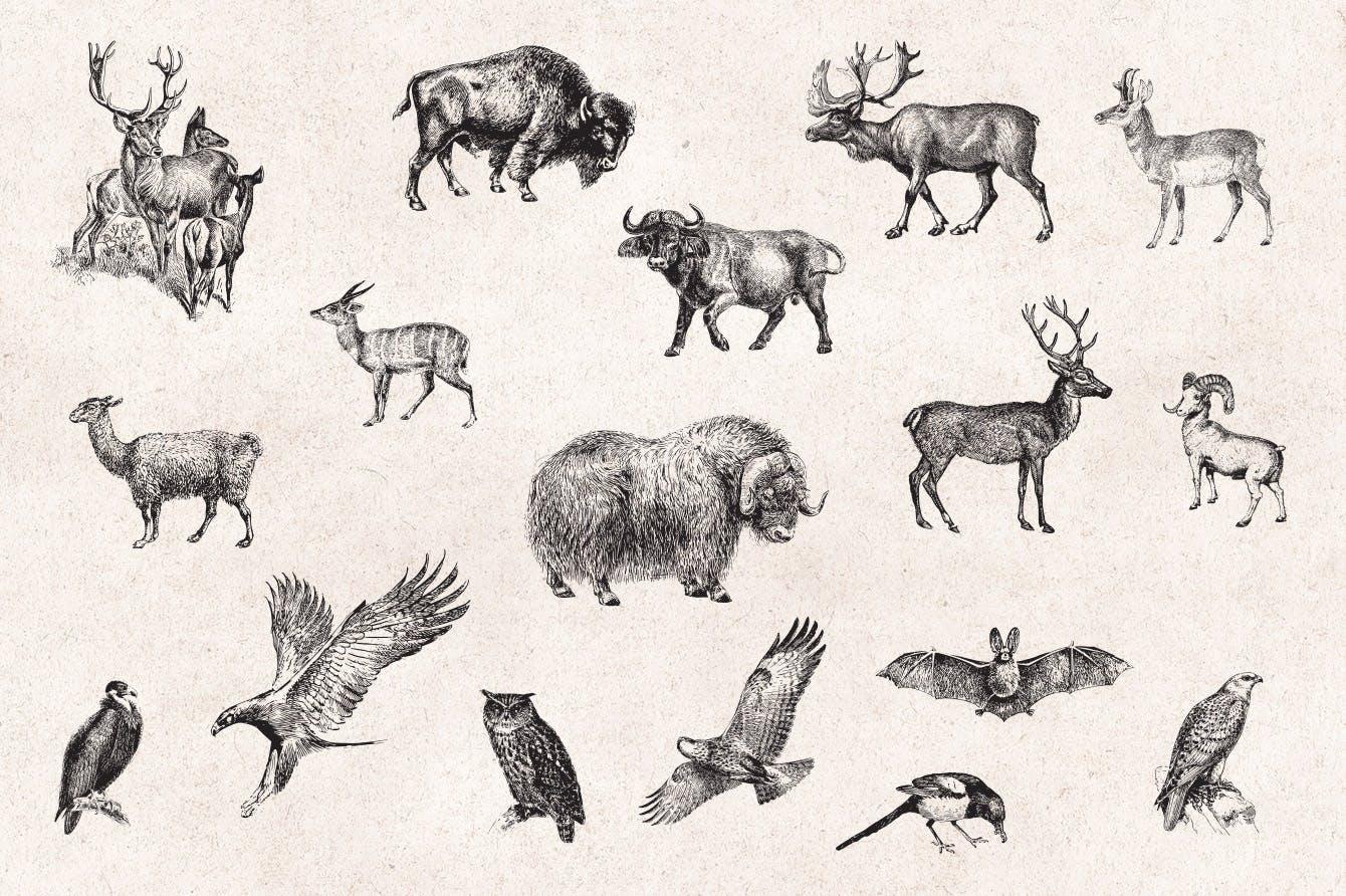 127个矢量化的各种野生动物矢量手绘风格相框装饰元素Wild Animals Engraving Illustration Set插图(6)